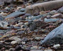 26 05 2018 (cathyk31) Tags: oiseau combattantvarié charadriiformes philomachuspugnax ruff scolopacidés bird