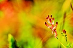 fleur sauvage (jpbordais) Tags: hdr huile couleurs flowers