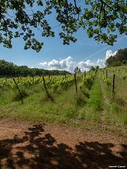 Visez, déclenchez, la nature a déjà tout fait avec la complicité du vigneron. (Loran C) Tags: vigne