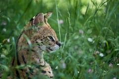 dans l'herbe (rondoudou87) Tags: serval pentax k1 parcdureynou reynou parc park zoo nature natur bokeh green grass herbe vert verdure verte color couleur close closer portrait profil profile wildlife wild beautiful beauty flower fleur smcpda300mmf40edifsdm