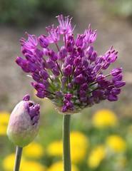 Allium sp. (Uhlenhorst) Tags: 2018 germany deutschland bavaria bayern plants pflanzen flowers blumen blossoms blüten