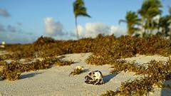 All washed up at Playa Barcelo (Stickwork-Steve) Tags: mexico mayanriviera rivieramaya playa playabarcelo beach sky clouds trees palmtree sand seaweed sony sonya7ii sonyfe24240mm sargassum