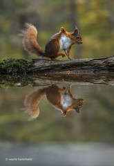 Little Red having a dance! (waynehavenhand1) Tags: nature wildlife dancing water squirrel