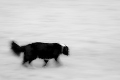 Moving Target (Captain192) Tags: dog dogs collie spaniel bordercollie spanielcolliecross sprollie grass charnwoodwater field bw panning motionblur
