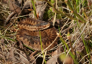 Juvenile Adder and spider.