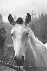 Rural portrait (ILO DESIGNS) Tags: caballos fauna animal horse face portrait monotone monochrome blackandwhite rural naturaleza naturallight nature countryside domestic d3300 sigma15028 2018