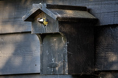 titmouse leaving nest to get food for her babys (Michael Hooper Photography) Tags: titmouse nest babys food