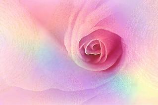 DAY 160. Rose for Shabat