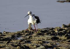 Mommy Black-winged stilt  and her chicks (ibzsierra) Tags: mommy stork chicks cigueñuela xerraire canon 7d ibiza eivissa baleares tamron g2 150600 salinas parque natural ave bird oiseau pollo