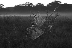 Spiderwebs (maritahills) Tags: blackandwhite spiderwebs nikon nationalparks dew