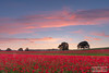 Poppy fields at sunset (PhilReayPhotography) Tags: aydoncastle corbridge poppyfield