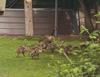 Goslings on the move