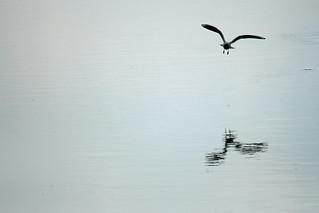 Black Headed Gull, Tring Reservoirs