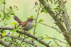 Cetti's Warbler (ian._harris) Tags: nikon naturaleza nature d7200 sigma 500mmf45 naturephotography natural june fowlmere cambridgeshire