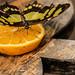 Papilio thoas Linnaeus
