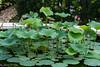 Lotus PondJun3LO-0025 (Mary D'Elia) Tags: fncc florida lotus lotusflowers lotuspond