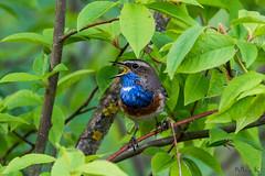 Podróżniczek/Bluethroat/Luscinia svecica (mirosławkról) Tags: wild wildlife animal bird biebrza green nature nikonnaturephotography 150600 forest wood bluethroat