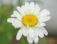 Rainy Day Flower (kendoman26) Tags: flower waterdroplets macro closeup happymacromonday sonyalpha sonya58 sonyslta58 sonyphotographing sal30m28