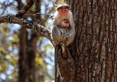 Mother and baby (bobbyloomba) Tags: india wildlife naturalhistory monkey