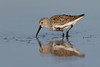 Dunlin (Gary McHale) Tags: dunlin fort myers florida gary mchale
