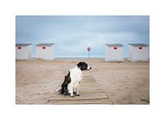 View to the beach (gerritdevinck) Tags: dogs seaview northsea belgium belgie beach beautifullight beautifulcolors beachlife bordercollie gerritdevinckfotografie gerritdevinck weskust westvlaanderen oostduinkerke oostduinkerkebad koksijdeoostduinkerke koksijde fotografiekoksijde hondenfotografie lovegrain grain filmlook looklikesfilm kodak portra