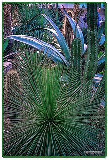 Cacti at Kew Gardens London (2).
