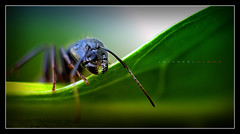 THEM! (J Michael Hamon) Tags: them ant green nature outdoor closeup macro vignette light lighting kenko extensiontube photoborder leaf hamon nikon d3200 nikkor 40mm bug insect antenna june flickrelite pincers