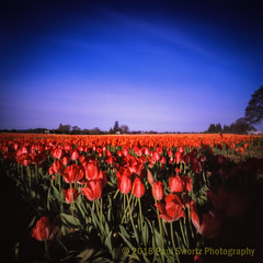 Pinholing Tulips (Paul Swortz) Tags: 2018 color film flowers iso50 slidefilm spring tulips velvia50 woodenshoetulipfestival zeroimage 6x6