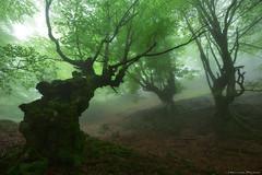 Creatures of the forest (Hector Prada) Tags: bosque forest niebla fog dark encantado enchanted creepy mood atmósfera árbol tree primavera spring paísvasco basquecountry