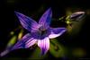 Blåklocka (Jonas Thomén) Tags: blåklocka bluebell blomma flower closeup närbild knopp sprout pant växt summer sommar