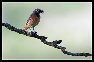 REDSTART { female }