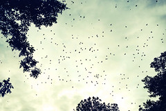 Flock of birds at sunset (josemanuelerre) Tags: bird starling landscape backlight sunset dramatic sky cloud blue yellow tree leaf top high nature minimal monochrome fly huge frame pattern tiny whimsical world explore travel adventure scary beauty detail scene day evening animal formation landform forest black simple amazing terror apocalypse many outdoors