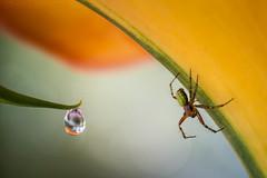 Nice Legs (Shame About Its Face) (SkyeWeasel) Tags: macro spider nature cucumbergreenspider araniellacucurbitina callalily guttation focusstacking ngc npc