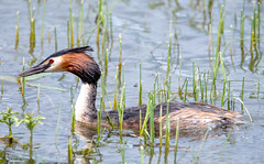 Great-crested grebe (jkyles32) Tags: rutland rutlandwater grebe greatcrestedgrebe