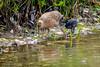 Ridgway's Rails-Male and Chick (halladaybill) Tags: bolsachicaecologicalreserve ridgwaysrail huntingtonbeach california unitedstates us