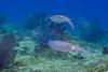 A pair of Atlantic brief squid (Lolliguncula brevis), just cruising through (jonmcclintock) Tags: underwater diving caymanbrac adventure caribbean scuba travel caymanislands