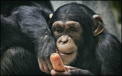 _SG_2018_01_0001_IMG_3264 (_SG_) Tags: schimpanse cheeta cheetah cheta chita chimp chimpanzee weiss white schwarzundweiss schwarzweiss blackwhite bw black schwarz zolli zoo zoobasel affenhaus geigyanlage augen blick gesicht portrait