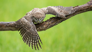 Watching You - Little Owl