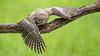 Watching You - Little Owl (Wim Boon (wimzilver)) Tags: wimboon steenuil vogel vogels bird belgium natuur nature canoneos5dmarkiii sigma150600mmf563dgoshsm|sports littleowl