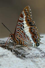 Charaxes brutus (Dindingwe) Tags: charaxesbrutus papillon pacha butterfly emperor whitebarredemperor nymphalidae schmetterling mariposa borboleta kruger