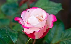 Blüte / Blossom # 2 (schreibtnix on 'n off) Tags: deutschland germany bergischgladbach frühling springtime pflanzen plants blüte blossom rose nahaufnahme closeup olympuse5 schreibtnix