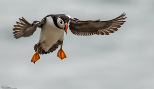 Settling Puffin