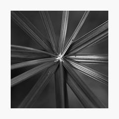Asymmetrical (bnishimoto) Tags: fujifilm xpro2 acros 60mm macro minimal minimalism backyardfind natureisfine bw monochrome nature