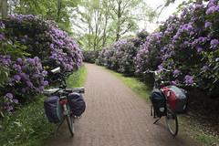 Oranjefietsroute - Rhododendronlaan Oldenzaal (Kitty Terwolbeck) Tags: oranjefietsroute cycling fietstrektocht bikepacking outdoors nature oldenzaal flowers bloom bloei rhododendronlaan rhododendron