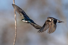 Two Swallows in Flight! (Patricia Ware) Tags: birdsinflight california canon ef400mmf4doisiiusmlens handheld irvine sanjoaquinmarsh tachycinetabicolor treeswallow ©2018patriciawareallrightsreserved unitedstates us specanimal sunrays5