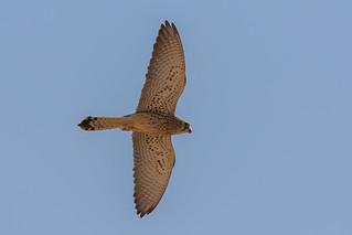 Lesser Kestrel female (Falco naumanni)