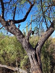 Arizona Desert (jeffcbowen) Tags: saguaro mesquite cactus desert tucson arizona