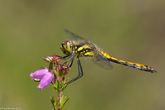 In Bloom (Paul:Ritchie) Tags: anisoptera arthropoda blackdarter dragonflies insecta insects libellulidae nature nikond90 odonata paulritchie sigma105mmf28macro sympetrum sympetrumdanae towncommon wildlife wwwhampshiredragonfliescouk