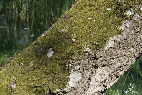 Шацький Національний Природний Парк Озеро Пісочне Стовбури дерев InterNetri  Ukraine 376