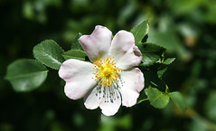 Wild Rose. (augustynbatko) Tags: rosehip flower nature rose macro white bokeh blur plant blossom leaf wild